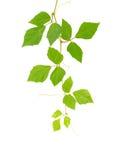 Cissus rhombifolia.brunch op wit Stock Fotografie