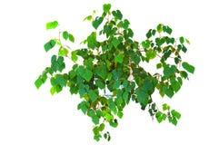 Cissusrhombifolia van de installatie Royalty-vrije Stock Fotografie