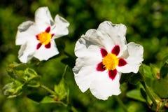 Cistaceae Στοκ Εικόνες