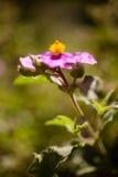 Cistaceae, rock rose flowers Stock Image
