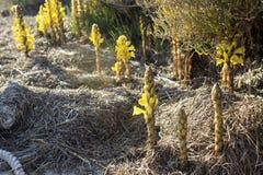 Cistanche phelypaea autoctone植物种类在阿尔加威Ria Formo 免版税库存图片