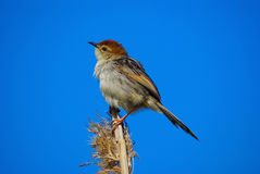 Cisticola Stock Photos