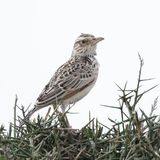 Perched Cisticola Royalty Free Stock Image