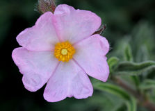Cistus argenteus 'Silver Pink', Rock rose Stock Images