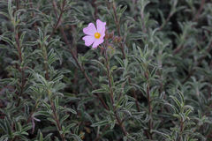 Cistus argenteus 'Silver Pink', Rock rose. Compact mound-forming shrub with silvery foliage and soft pink flowers coming up in summer Stock Photos