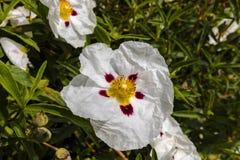 Cistus decorative flowering shrub with white flowers. Stock Photography