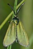 Cistus forester (Adscita geryon) Royalty Free Stock Image