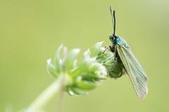 Cistus forester moth (Adscita geryon) Stock Photos