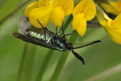 Cistus Forester Moth Stock Photo
