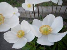 Cistus Halimium del rockrose dei fiori bianchi Fotografia Stock Libera da Diritti