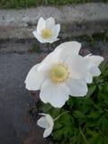 Cistus Halimium del rockrose dei fiori bianchi Fotografie Stock Libere da Diritti