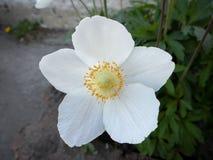 Cistus Halimium del rockrose dei fiori bianchi Immagini Stock Libere da Diritti