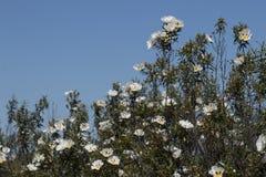Cistus ladanifer bloemen Royalty-vrije Stock Foto's