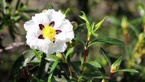 Cistus ladanifer brown-eyed rockrose wild flower in nature