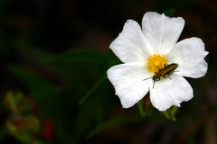 Cistus monspeliensis (rockrose). White rockrose with a beetle Stock Images
