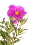 Cistus pulverulentus in studio Royalty Free Stock Images