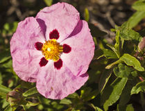 Cistus purpureus Stock Photo