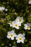 Cistus Royalty Free Stock Photography