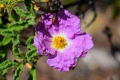 Cistusen - vagga rosa Royaltyfria Foton