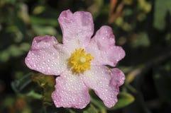 Cistusparviflorus Royaltyfri Foto