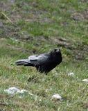 Cite o corvo Fotos de Stock Royalty Free