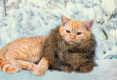 Cite red cat wearing fur scarf Stock Photo
