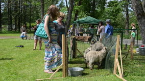 Citizen women admire farm animal sheep and goat in exhibition stock video footage