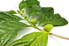 Citrifolia de Morinda Foto de archivo libre de regalías