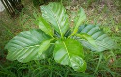 Citrifolia de Noni Morinda Photos libres de droits