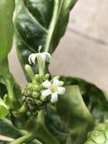 Citrifolia Morinda ή λουλούδι φρούτων τυριών Στοκ φωτογραφίες με δικαίωμα ελεύθερης χρήσης