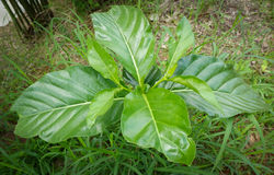 Citrifolia Noni Morinda Стоковые Фотографии RF