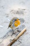 Citril finch. Small bird with a yellow breast Royalty Free Stock Images