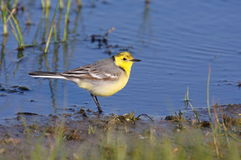 Citrine wagtail royalty free stock image