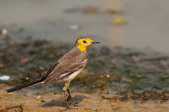 Citrine Wagtail Royalty Free Stock Photography