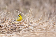 Citrine Wagtail. Juvenile Citrine Wagtail on a reed pile in a coastal meadow, Estonia stock photography