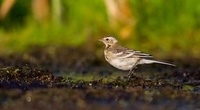 Citrine Wagtail - Motacilla citreola - juvenile bird Stock Photo