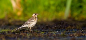 Citrine Wagtail - Motacilla citreola - juvenile bird Stock Photography