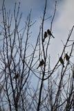 Citrinella d'Emberiza Une volée des oiseaux sur des branches Horaire d'hiver photographie stock libre de droits