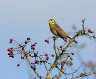 citrinella emberiza yellowhammer Obrazy Stock