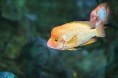 Citrinellum Cichlasoma, лимон Cichlasoma Cichlasoma лимона в аквариуме - яркой тропической рыбе стоковое фото