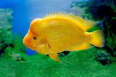 Citrinellus hermoso de Amphilophus de los pescados del acuario Imagenes de archivo