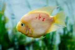 Citrinellus hermoso de Amphilophus de los pescados del acuario Fotos de archivo
