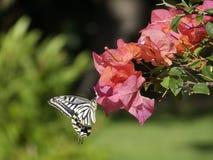 Citrino Swallowtail Imagens de Stock Royalty Free