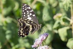 Citrino Swallowtail fotografia de stock