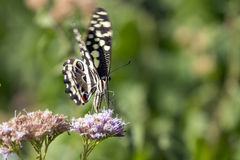 Citrino Swallowtail Imagem de Stock Royalty Free