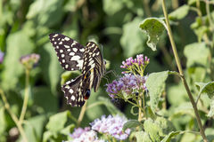 Citrino Swallowtail imagens de stock