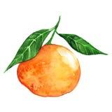 Citrinos do mandarino da aquarela Fotos de Stock Royalty Free