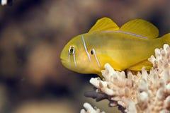 citrinus香橼珊瑚gobiodon虾虎鱼 免版税库存照片