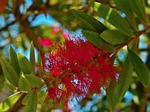 Citrinus cramoisi de bottlebrush-Callistemon Photo libre de droits