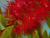 Citrinus cramoisi de bottlebrush-Callistemon Photo stock